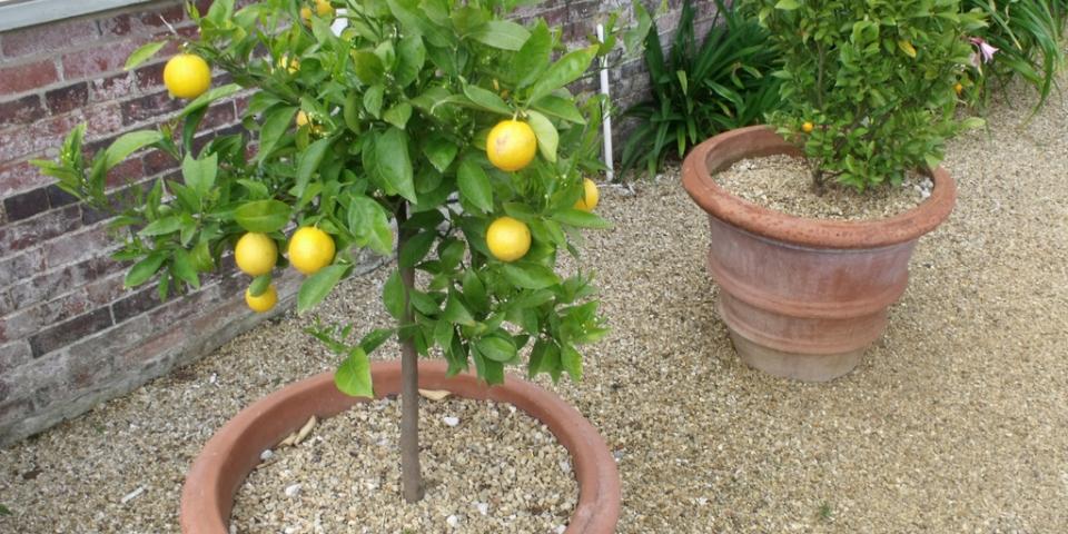 dwarf-lemon-trees